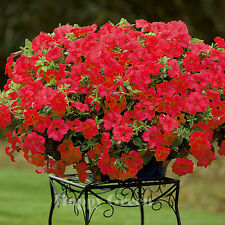 F1 TRAILING PETUNIA SUPERCASCADE RED - 10 SEEDS - balcony Petunia grandiflora