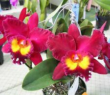 ORCHIDEE  CATTLEYA  RLC.  SANYANG  RUBY  TIAN  MU    JUNGPFLANZE      N 4-3