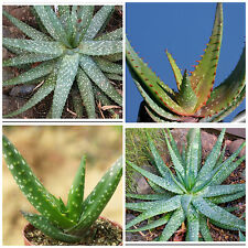 10 semi di Aloe microstigma , piante succulente, piante grasse