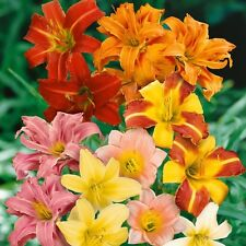 Hemerocallis Hybrid Mix HARDY DAYLILY Seeds!