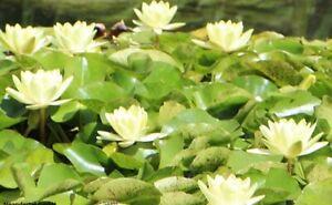 winterharte Wasserpflanze für den Teich : Hübsch blühende Gelbe Seerose // Samen