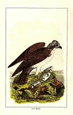 Rare 1897 Antique Bird Print ~ Fish Hawk ~ Excellent Details!