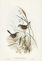 JOHN GOULD STRIATED REED LARK VINTAGE AUSTRALIAN BIRD ART PRINT POSTER