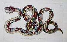 THE GREAT BOA SNAKE - RARE 1790 HAND COLOURED ANTIQUE ENGRAVING BY SHAW & NODDER