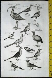 Exotic birds,Curicaca,Jacana,Mituporanga,Jonston,Historia,lg.Merian.Engra.c.1650