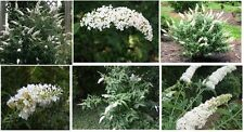 Crystal White Flowering Butterfly Bush 100 Seeds