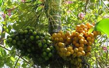 3 BETEL NUT PALM ARECA CATECHU SEEDING PLANTRARE SEED THAI 2016