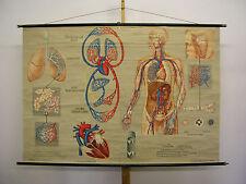 Immagine parete respirazione circolo polmone bronchi 168x115cm VINTAGE wall chart ~ 1960