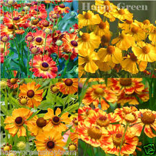 OWL'S CLAWS MIX - SNEEZEWEED - MOUNTAIN DAISY - Helenium Autumnale - 600 SEEDS