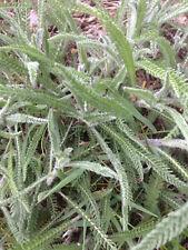 Schafgarbe 5 Pflanzen winterhart Kräuterpflanze Heilkreut aus Naturgarten