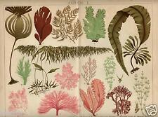 1898= ALGHE = Botanica= PIANTE = Antica Stampa CROMOLITOGRAFIA