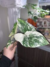 *Rare* Rooted Albo Variegated Syngonium