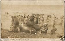 Seelöwen, Lobos Marinos, Territorio Santa Cruz, Argentina, alte Foto-Ak um 1930