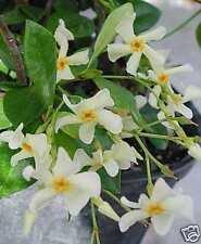 JASMIN ETOILE RUSTIQUE jaune Trachelospermum