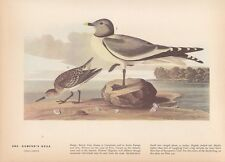 "1942 Vintage AUDUBON BIRDS #285 ""SABINE'S GULL"" BEACH Color Art Plate Lithograph"