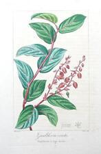 GAULTHERIA ERECTA, Pancrace Bessa Antique Botanical Print c1820