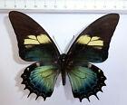 Papilio androgeus ssp.androgeus blue form FEMALE  ex Satipo, Peru     n373c