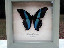 PAPILIO BROMIUS Framed BUTTERFLY Africa Butterfly Designs USA
