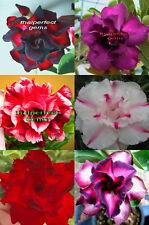 "ADENIUM ""Mixed 6 Type"" 6 GRAFTED PLANT RARE!!"
