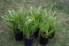 single potted bromeliads