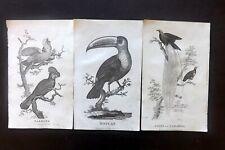 Oliver Goldsmith C1815 Bird Prints (3) Parrot Toucan Bird of Paradise. Plates