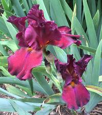Tall Bearded Iris Grateful Red Dark Wine red Rhizome Perennial Plant