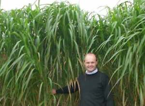 Elephant Grass Seeds - 100 Seeds - Tallest Grass in The World - Ships from Iowa,