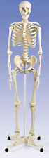 NEW 3B Scientific Stan Human Skeleton w/ Stand & Cover A10