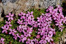 Bergphlox 100 Samen Linanthus Grandiflorus Berg Phlox