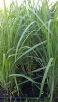 LEMONGRASS  SEEDS LEMON GRASS CYMBOPOGON FLEXUOSUS MOSQUITO REPELLENT in Florida