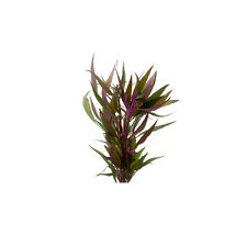 Live Aquarium Aquatic Plant Alternanthera Reineckii -Telanthera Bunch