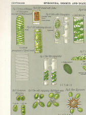1883 VICTORIAN BOTANICAL PRINT ~ SPIROGYRA DESMED & DIATOM ~ PLANT CELLS