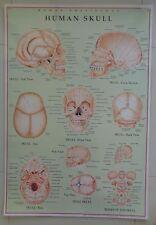 The Human Skull Anatomical Laminated Licensed Poster Chart Skull Anatomy