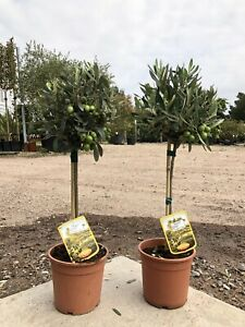 Pair of Olive Tree - Olea europaea 40cm Excl. Pot