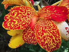 canna lily spotted beauty rare growing rhizome