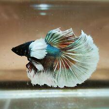 Live Betta Fish - Male - Fancy Multicolor Halfmoon (HFJUN93) (High-Grade)