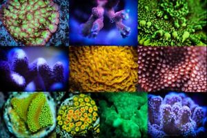10 Piece Live Coral Frag Pack LPS SPS FREE OVERNIGHT SHIPPING