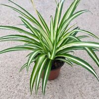 Hirt's Ocean Spider Plant - Easy to Grow - Cleans the Air- 3 rooted plants