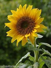 200 Seed of Black Seeded Sunflower Plant Sun Flower Ornamental Helianthus annuus