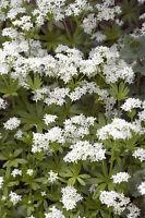 ** mit Waldmeister können Sie viele Süßspeisen aromatisieren - Kräuter Samen.