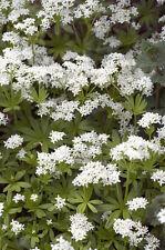 Garten Pflanzen Samen winterharte Zierpflanze Saatgut Kräuter WALDMEISER