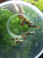 10 Fry  Dumbo Ear Platinum Dragon Guppy  Fancy Guppy Live Fish