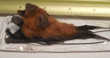 HANG BACK HIPPOSIDEROS LARVATUS LEAF NOSED BAT INDONESIAN TAXIDERMY FAST SHIP