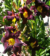 Daylily Sir Modred Near Black Hemerocallis Mordred Perennial ~ Df or 2 Plants