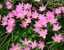 *UNCLE CHAN* 3 BULB RAIN LILY PINK PURPLE Zephyranthes Grandiflora FLOWERING