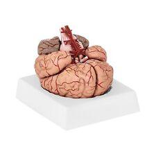 Gehirn Modell Anatomisches Modell Gehirn Gehirnmodell 9 Teilig 1:1 Mit Arterien