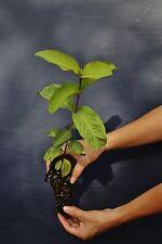 PSIDIUM GUAJAVA BIANCA alveolo Guaiava white Guava apple Goiaba pianta plant