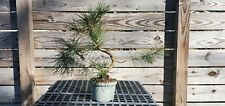 Mikawa Japanese Black Pine Bonsai. Great branching and surface roots
