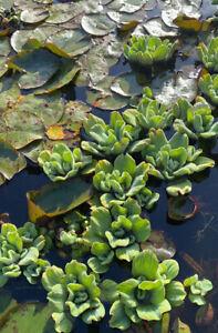 *3 Water Lettuce* Live Floating Pond Plant