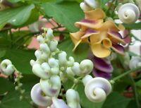 i! SCHNECKENBOHNE !i winterharte frostharte Garten Pflanze Samen Saatgut Exot